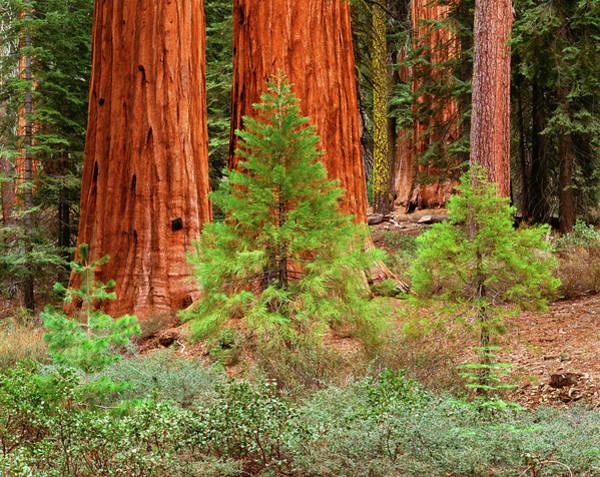 Sequoia Grove Photograph - Usa, California, Yosemite National by Adam Jones