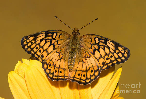 Duval County Photograph - Variegated Fritillary by Millard H. Sharp