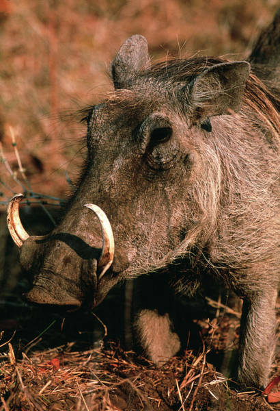 Wall Art - Photograph - Warthog by Tony Camacho/science Photo Library