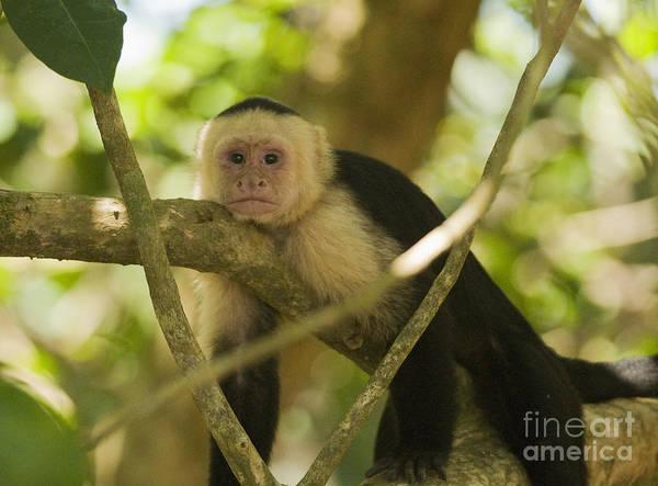 Photograph - White-faced Capuchin by Dan Suzio