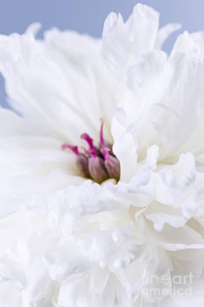 Wall Art - Photograph - White Peony Flower by Elena Elisseeva