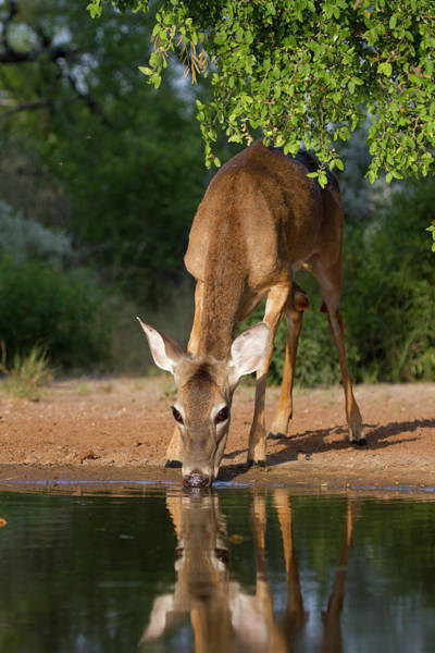 Doe Photograph - White-tailed Deer (odocoileus by Larry Ditto