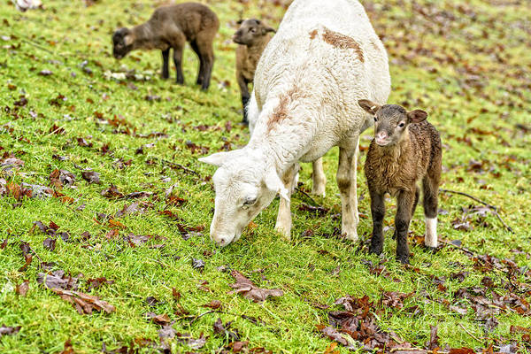 Photograph - Winter Lambs And Ewe by Thomas R Fletcher