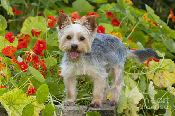 Photograph - Yorkshire Terrier Dog by John Daniels