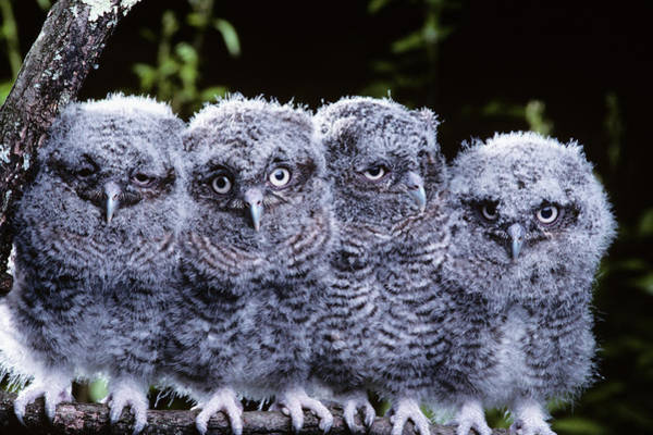 Screech Owl Photograph - 4 Young Eastern Screech Owls Otis Asio by Vintage Images