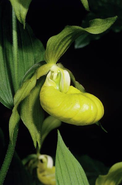 Lady Slippers Photograph - Orchid Flower by Paul Harcourt Davies/science Photo Library