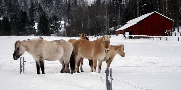 Photograph - 40104-5 Norwegian Horses by Albert Seger