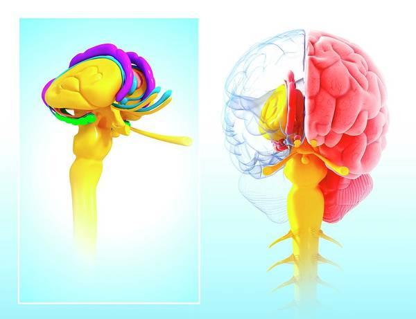 Olfactory Bulb Photograph - Human Brain Anatomy by Pixologicstudio/science Photo Library