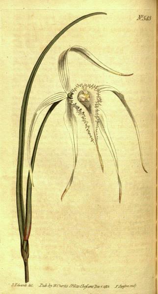 Wall Art - Drawing - Botanical Print By Sydenham Teast Edwards 1768 – 1819 by Quint Lox