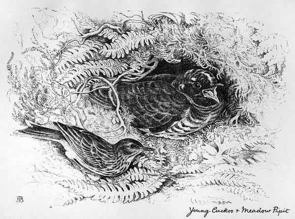 Cuckoo Drawing - Blackburn Birds, 1895 by Granger