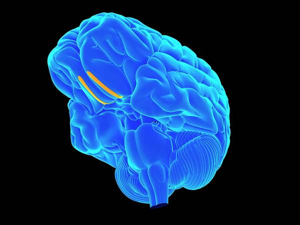 Olfactory Bulb Photograph - Human Brain by Sebastian Kaulitzki/science Photo Library