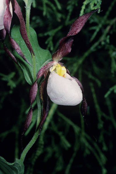Lady Slipper Photograph - Orchid Flower by Paul Harcourt Davies/science Photo Library