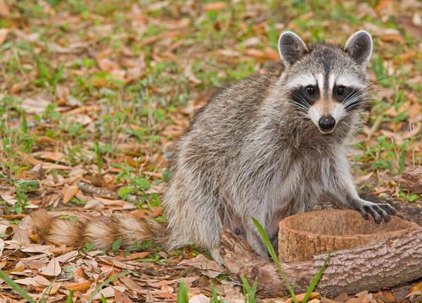 Wall Art - Photograph - Raccoon by Millard H. Sharp