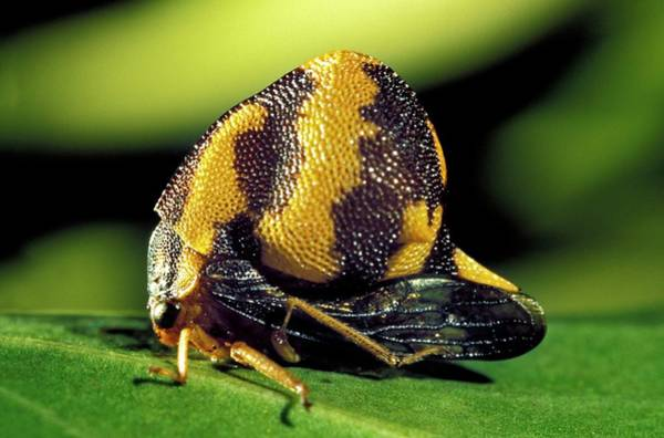Wall Art - Photograph - Treehopper by Patrick Landmann/science Photo Library