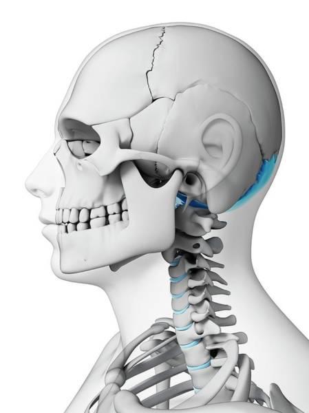 Occipital Bone Photograph - Human Skull by Sebastian Kaulitzki
