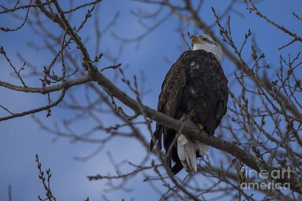 Flying Eagle Photograph - Bald Eagle In Le Claire Iowa by Twenty Two North Photography
