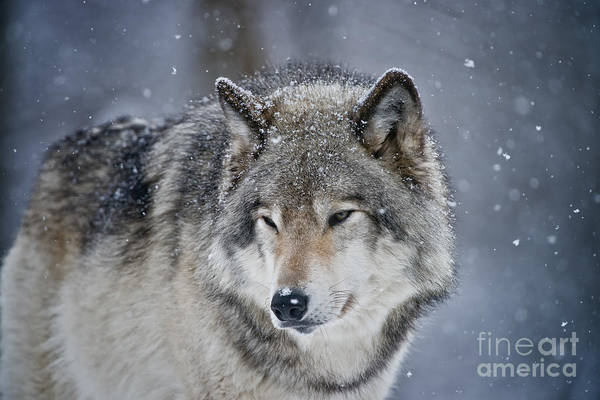 Photograph - Timber Wolf by Michael Cummings