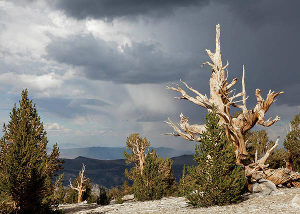 Pine Grove Photograph - Usa, California, Inyo National Forest by Jaynes Gallery
