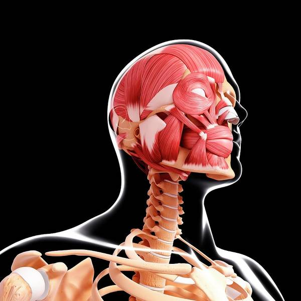 Wall Art - Photograph - Human Head Musculature by Pixologicstudio/science Photo Library