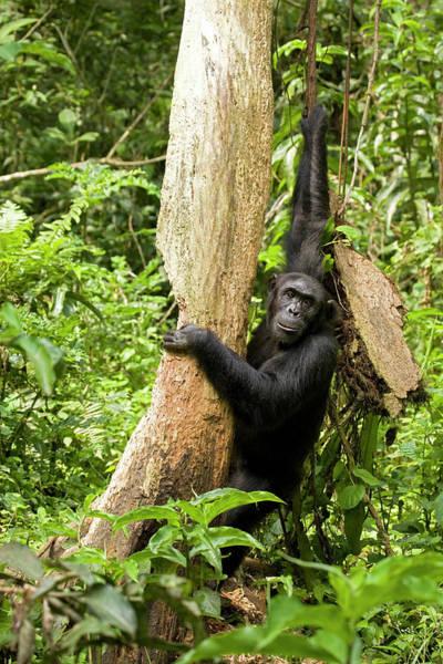 Behavior Photograph - Africa, Uganda, Kibale National Park by Kristin Mosher