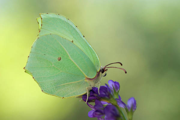 Brimstone Photograph - Nature And Travel Images by Marcos Veiga