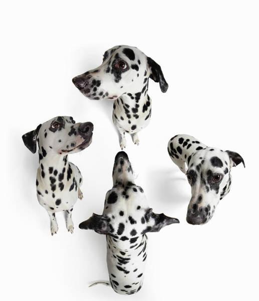 Dalmatian Dog Photograph - 4dalmatians by Gandee Vasan