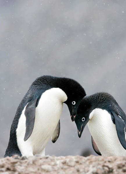 Mating Ritual Photograph - Adelie Penguins by William Ervin/science Photo Library