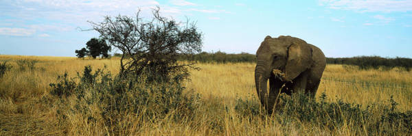 Wall Art - Photograph - African Elephant Loxodonta Africana by Animal Images