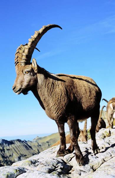Goats Photograph - Alpine Ibex (capra Ibex by Martin Zwick