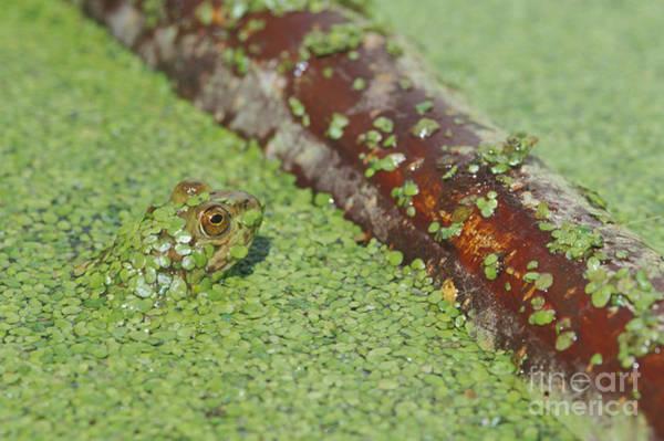Photograph - American Bullfrog by Dan Suzio