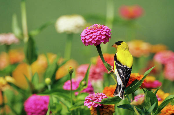 Zinnia Wall Art - Photograph - American Goldfinch (carduelis Tristis by Richard and Susan Day