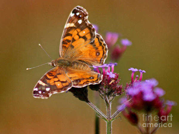 Photograph - American Lady Butterfly by Karen Adams