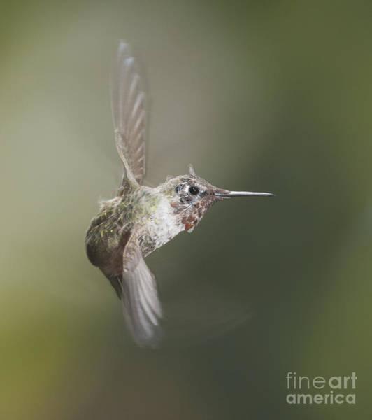 Photograph - Anna's Hummingbird by Dan Suzio