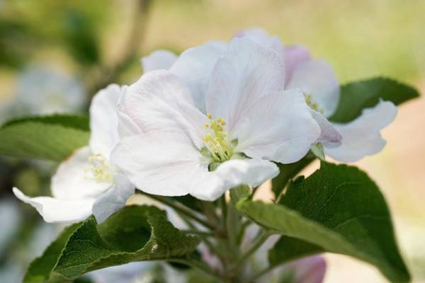 Wall Art - Photograph - Apple Blossom On Branch by Foodcollection