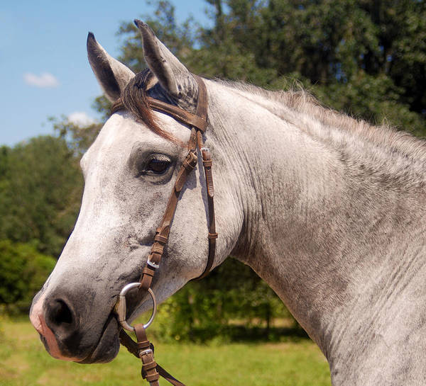Photograph - Arabian by Larah McElroy