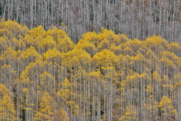 Wall Art - Photograph - Aspen Grove In Glowing Golden Colors by Darrell Gulin