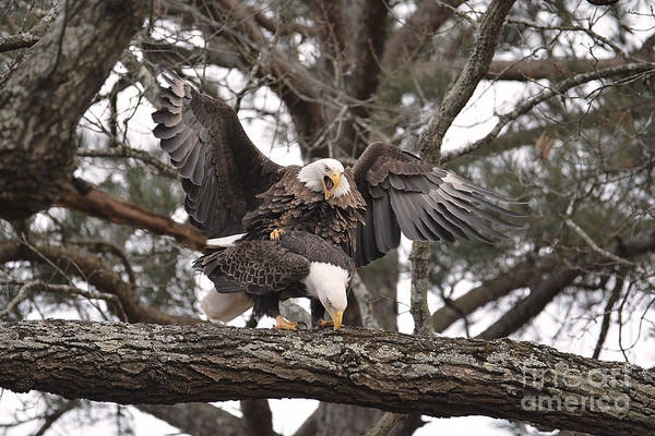 Photograph - Bald Eagles Mating In Shiloh Tennessee by Jai Johnson