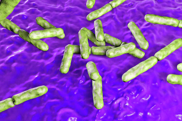 Wall Art - Photograph - Bifidobacterium Bacteria by Kateryna Kon/science Photo Library