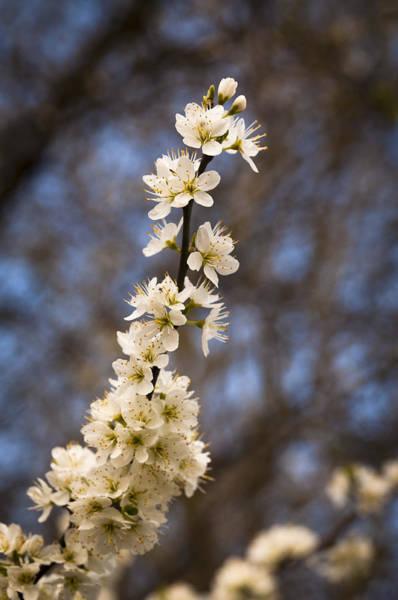 Blackthorn Blossom Art Print