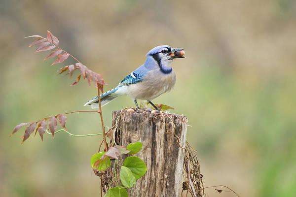 Acorn Wall Art - Photograph - Blue Jay (cyanocitta Cristata by Larry Ditto
