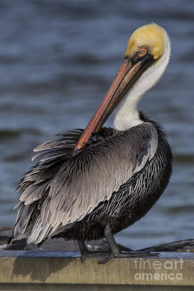 Brown Pelicans Photograph - Brown Pelican by Twenty Two North Photography