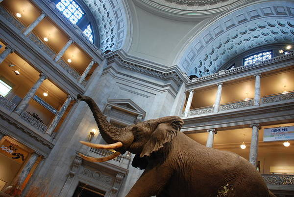 Bull Elephant In Natural History Rotunda Art Print