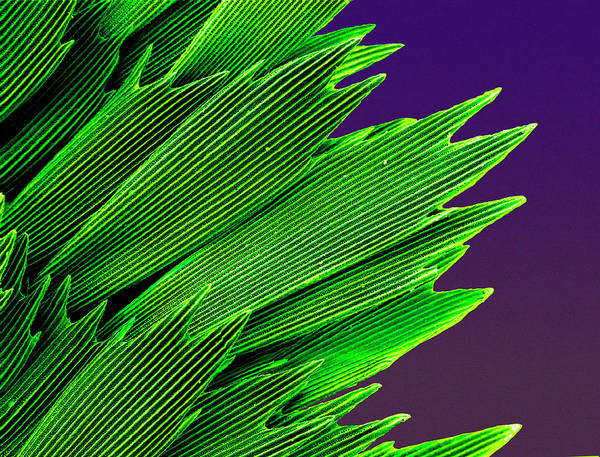 Photograph - Butterfly Wing Scales by Natural History Museum, London/science Photo Library