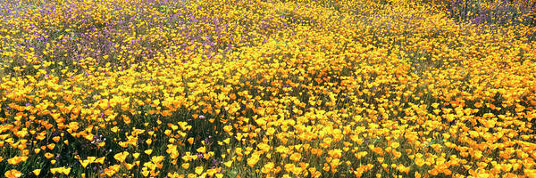 Rattlesnake Photograph - California Golden Poppies Eschscholzia by Panoramic Images