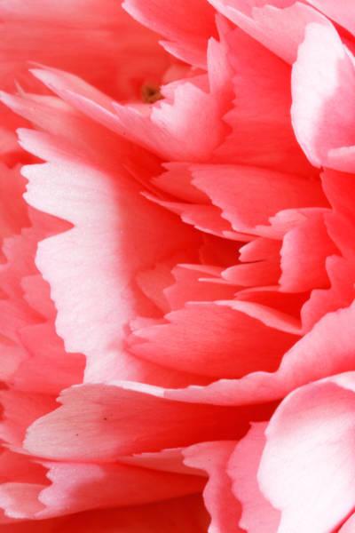Photograph - Carnation Flower by Peter Lakomy