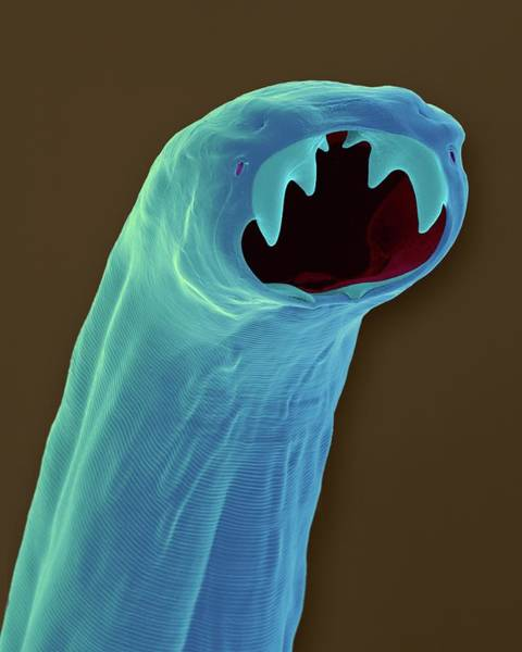 Buccal Wall Art - Photograph - Cat Hookworm (ancylostoma Braziliense) by Dennis Kunkel Microscopy/science Photo Library