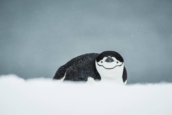 Down The Shore Photograph - Chinstrap Penguin  Pygoscelis by Deb Garside