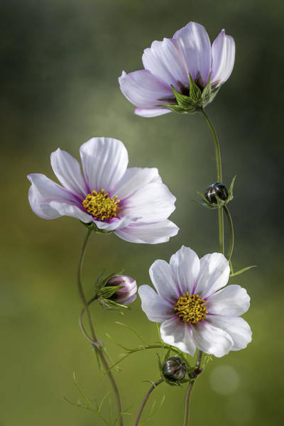 Bokeh Wall Art - Photograph - *cosmos by Mandy Disher