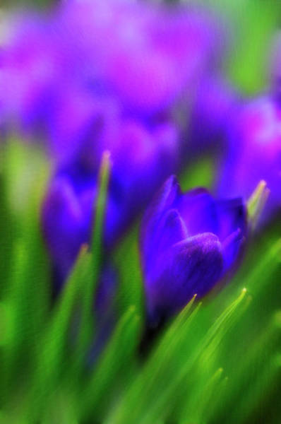 Wall Art - Photograph - Crocuses (crocus Vernus) by Maria Mosolova/science Photo Library
