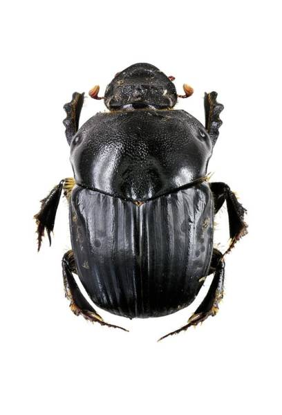 Arthropods Wall Art - Photograph - Dung Beetle by F. Martinez Clavel